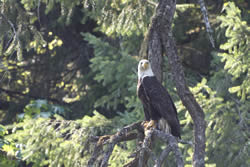 Bald Eagle on the Saanich Peninsula
